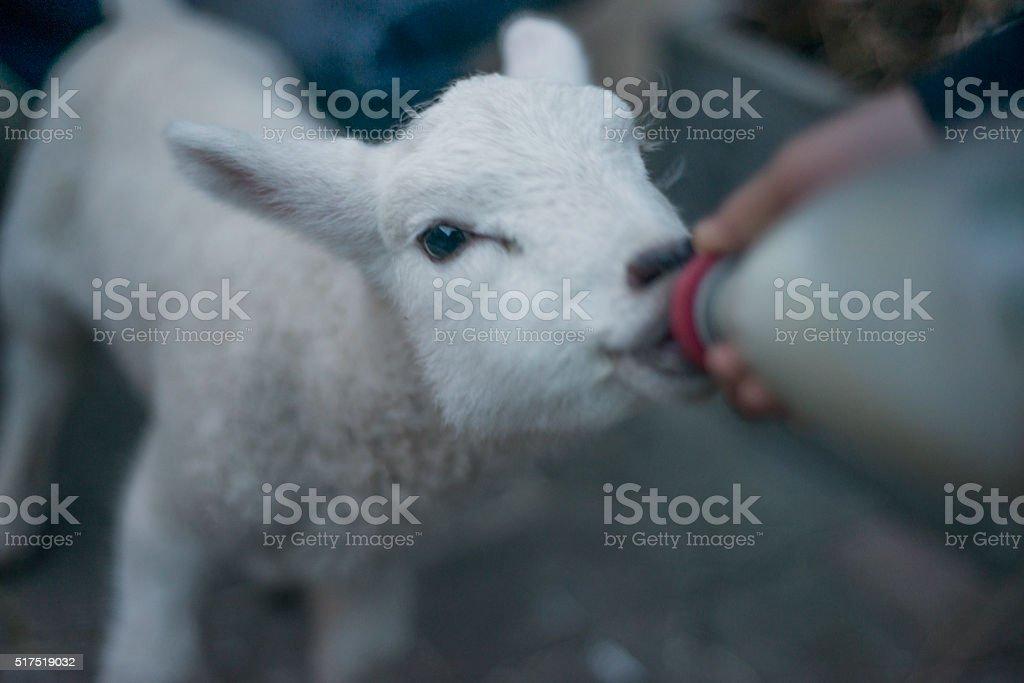 Pet lamb feeding stock photo