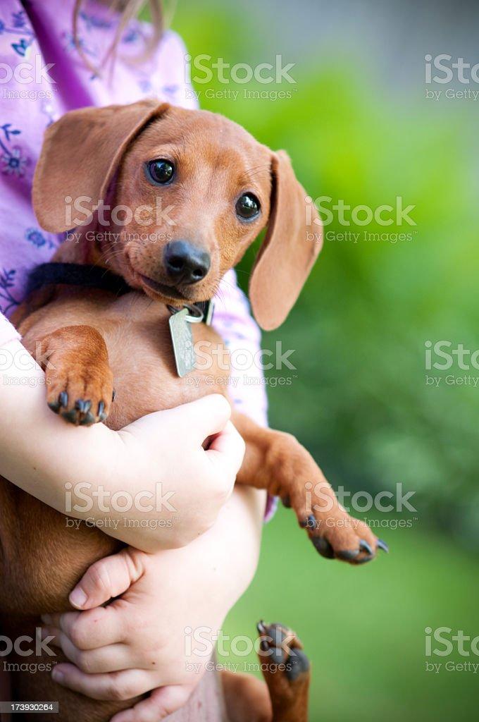 Pet Miniature Dachshund royalty-free stock photo