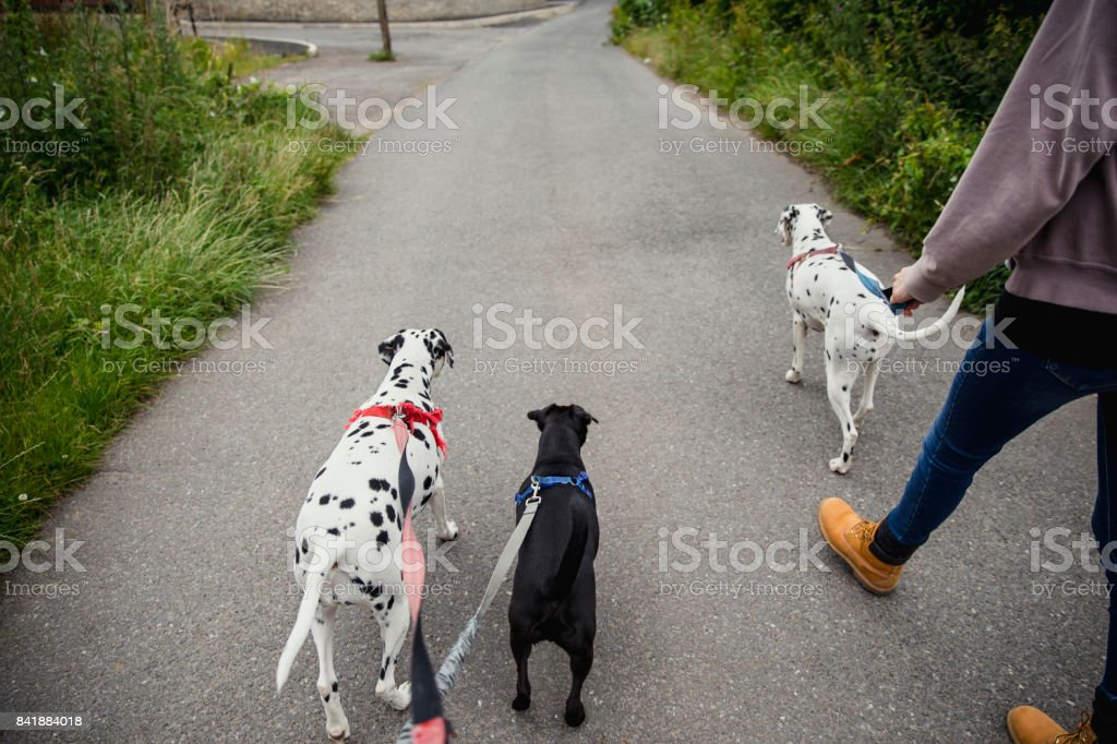 Pet Owner Walking her Dogs stock photo