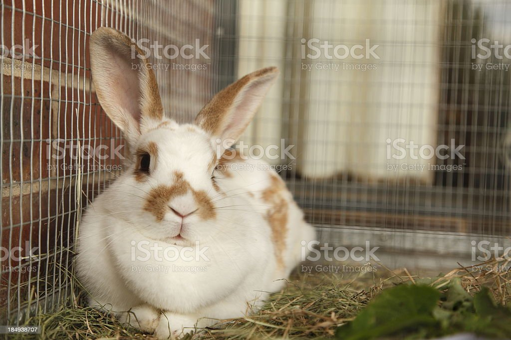 Pet rabbit in its cage