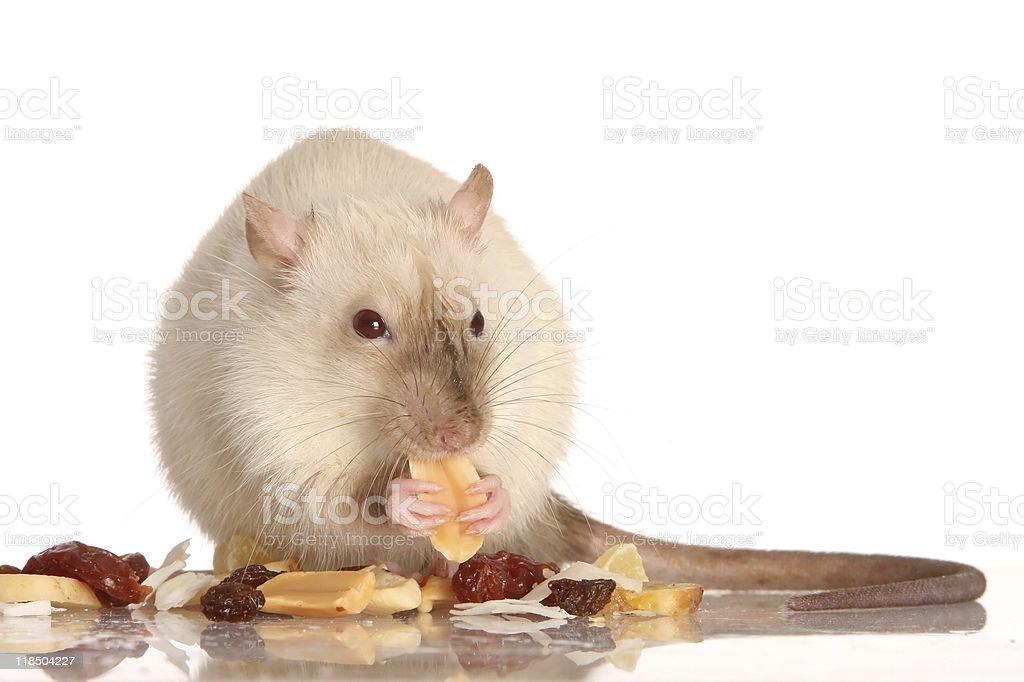 Pet Rat Eating stock photo