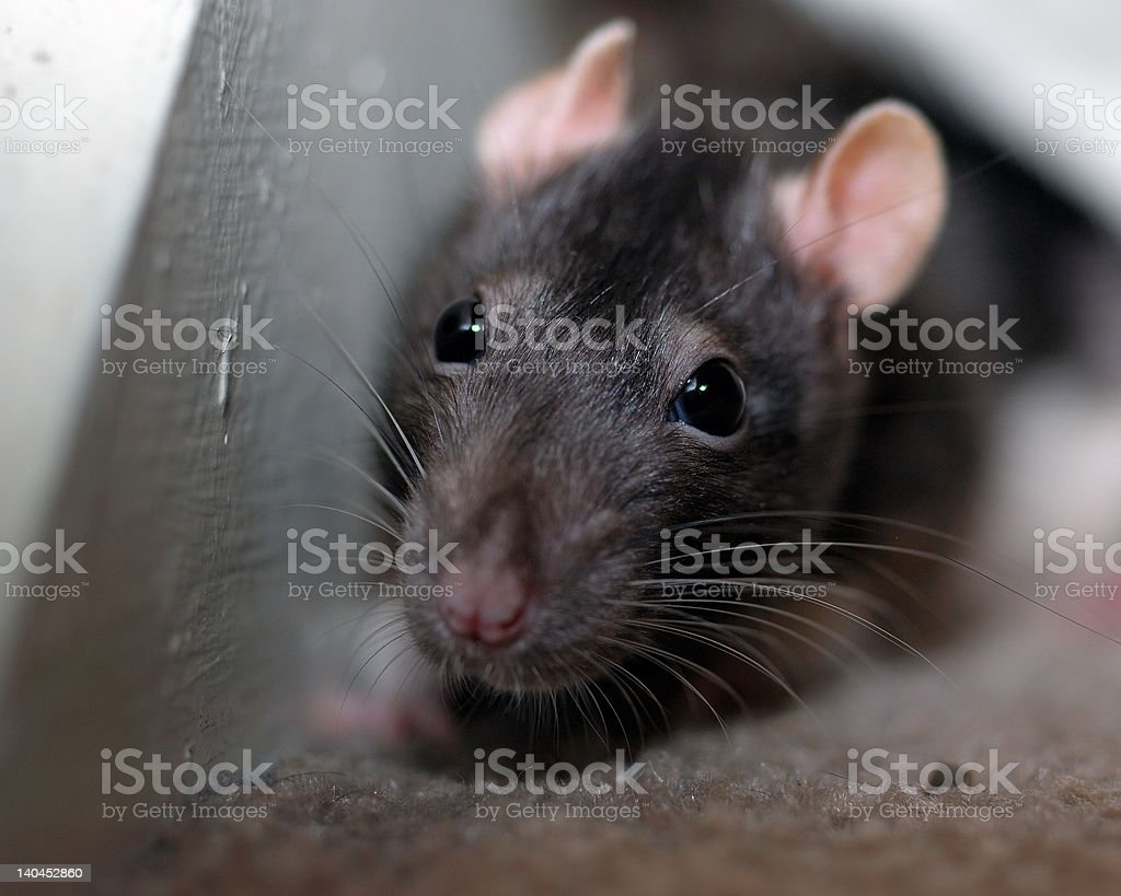 Pet rat hides in a stairwell stock photo