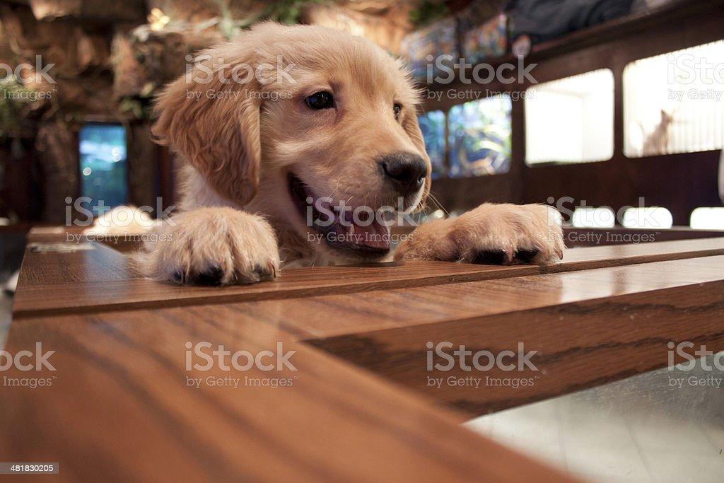 Pet Store Puppy stock photo