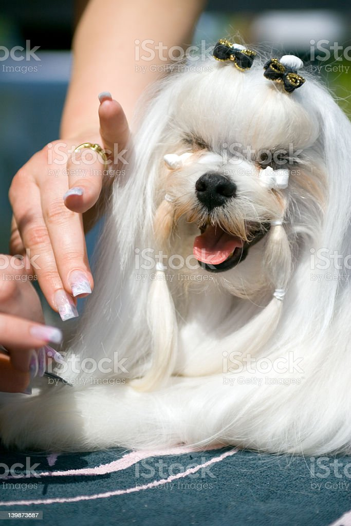 Pet stylist grooming the hair of a sharpei dog stock photo