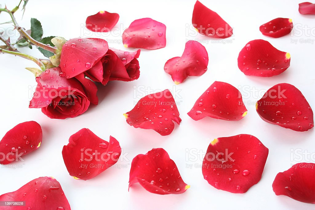 petal and rose background with water drops royalty-free stock photo