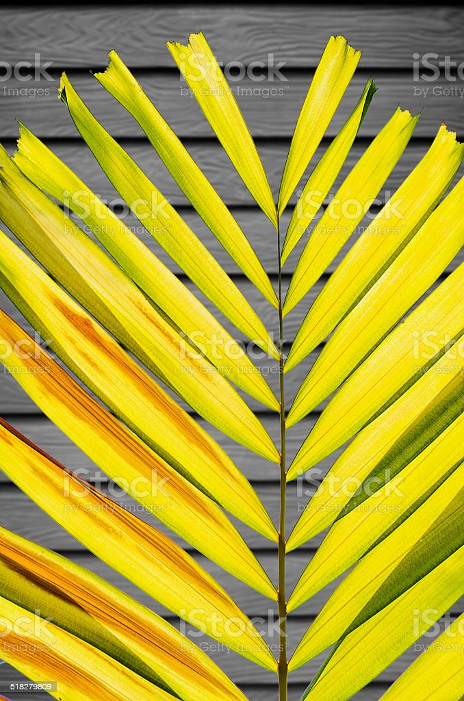 Petal Palm Leaf on Desaturate Wooden Wall Background stock photo