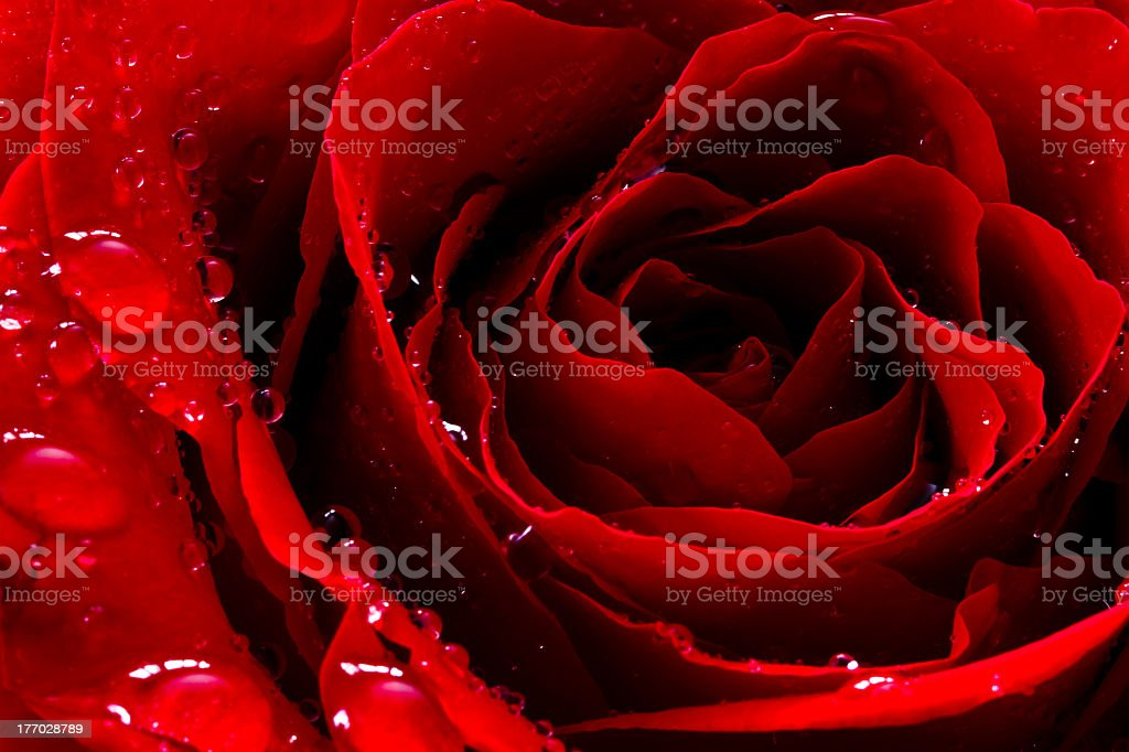 Petals of a vivid red rose with water beads inside stock photo