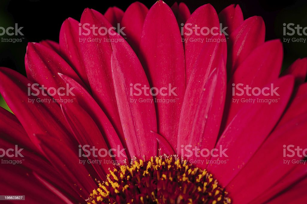 petals of an African Daisy royalty-free stock photo