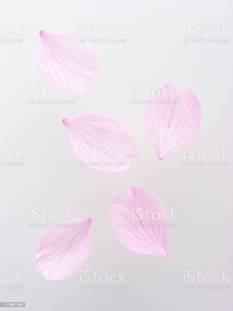 Petals of cherry blossom stock photo