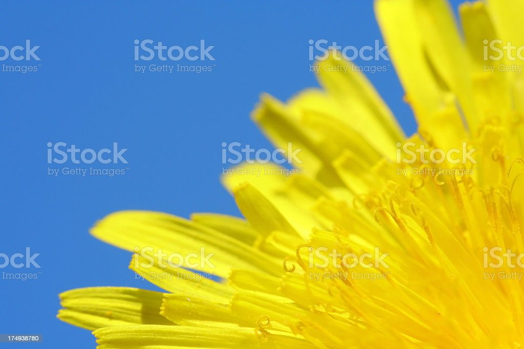 Petals of Dandelion on Blue Sky Background - Close up royalty-free stock photo