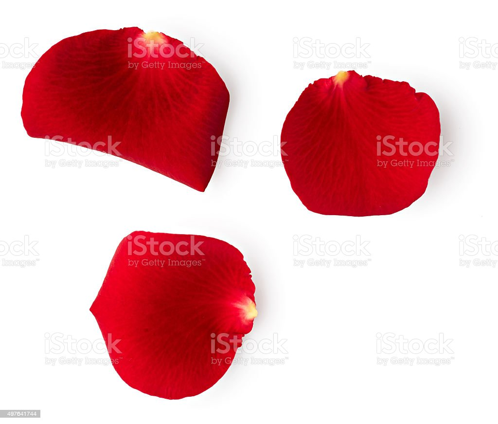 Petals of red rose stock photo