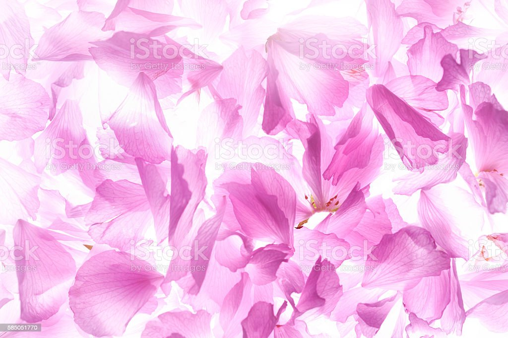 Petals of rose flowers stock photo