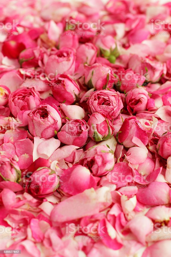 Petals of tea roses and buds background stock photo