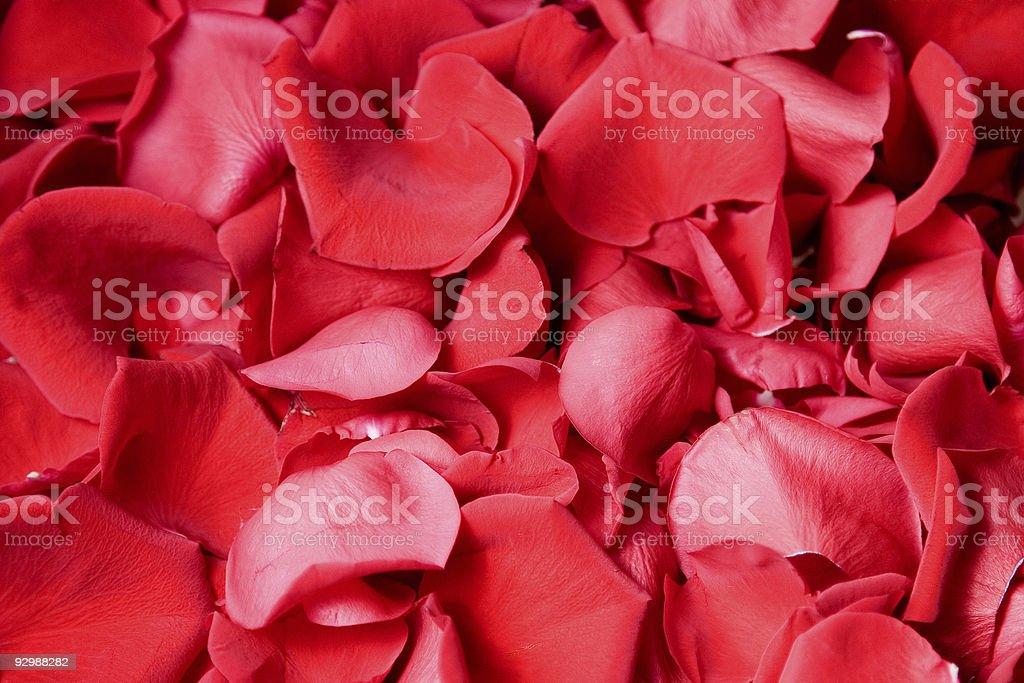 Petals rose royalty-free stock photo