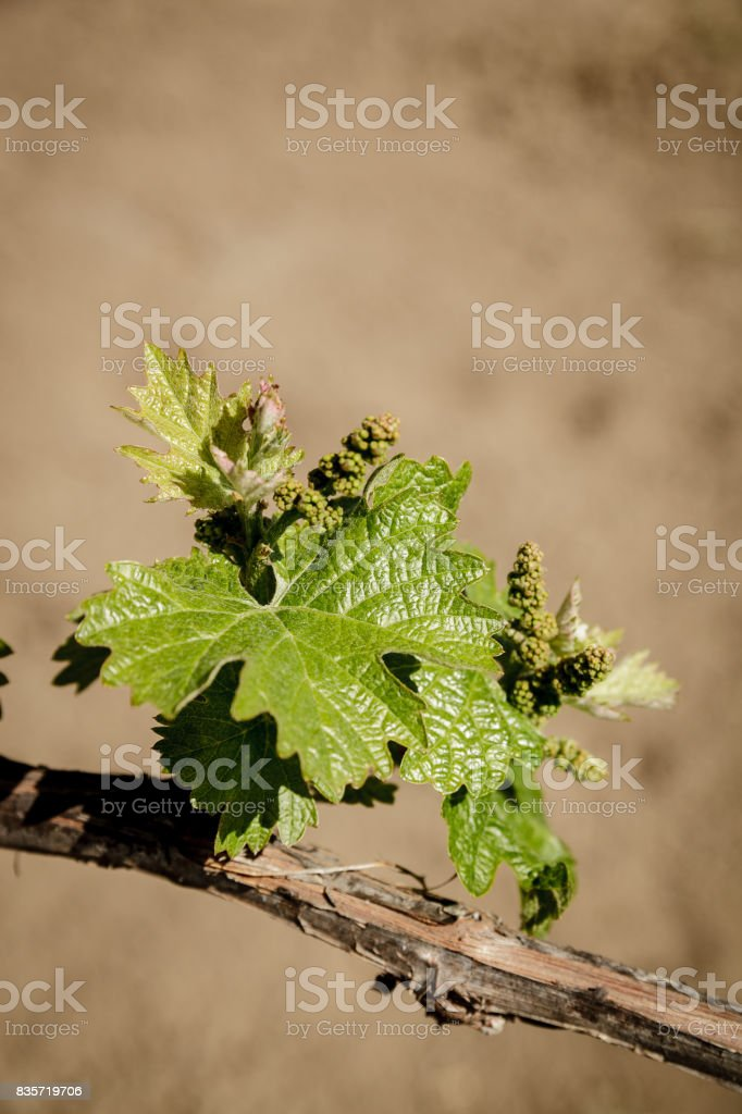 Petite Sirah grapes on an old grapevine in Napa stock photo
