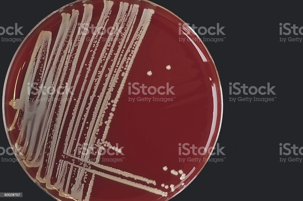 Petri dish with colonies of bacteria on red agar royalty-free stock photo
