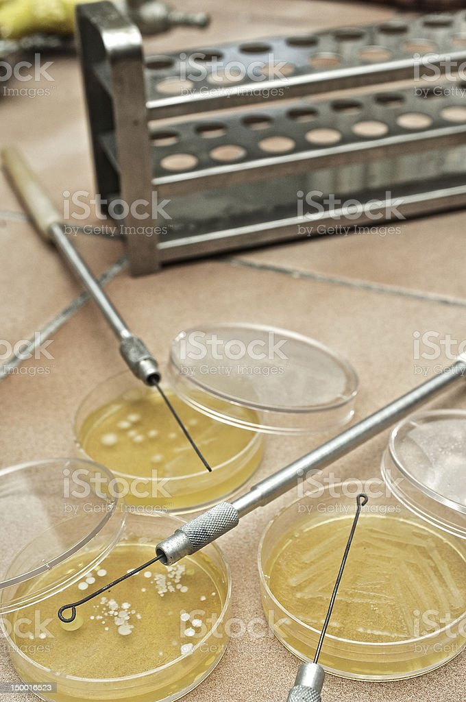Petri Dish with living colony of agar culture royalty-free stock photo