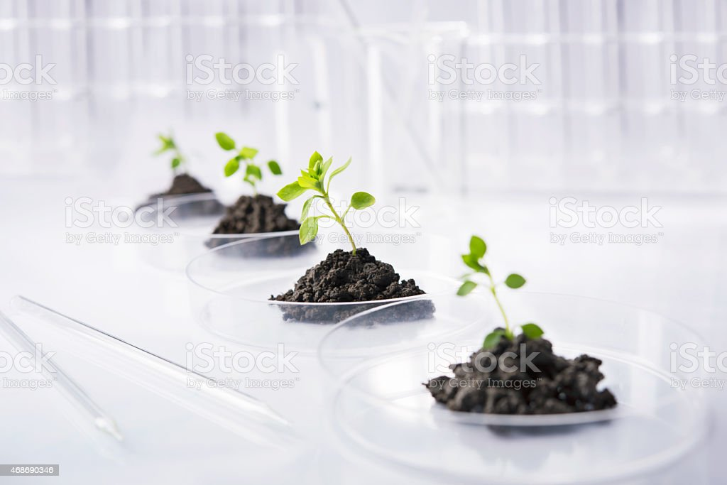Petri dishes full of soil with seedlings growing in them stock photo
