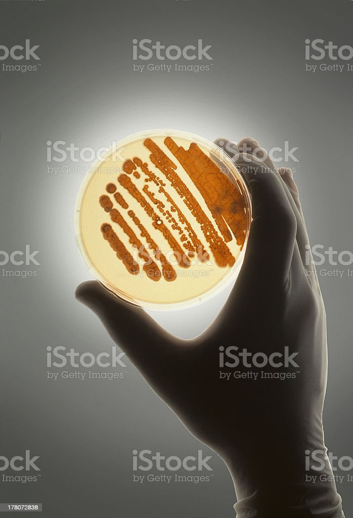 Petrie dish with bacteria used for R&D royalty-free stock photo