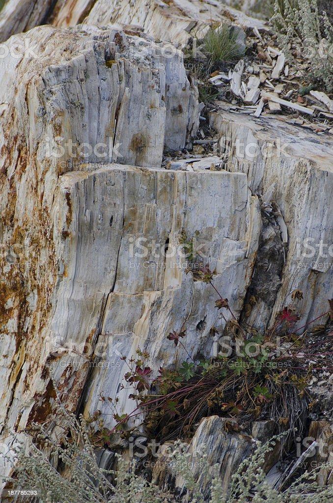 Petrified Redwood Stump at Florissant Fossil Beds stock photo