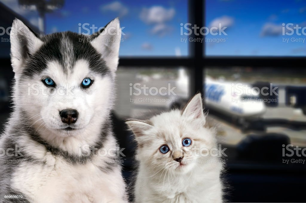 Pets at the airport. Traveling with a cat and a dog on the plane stock photo