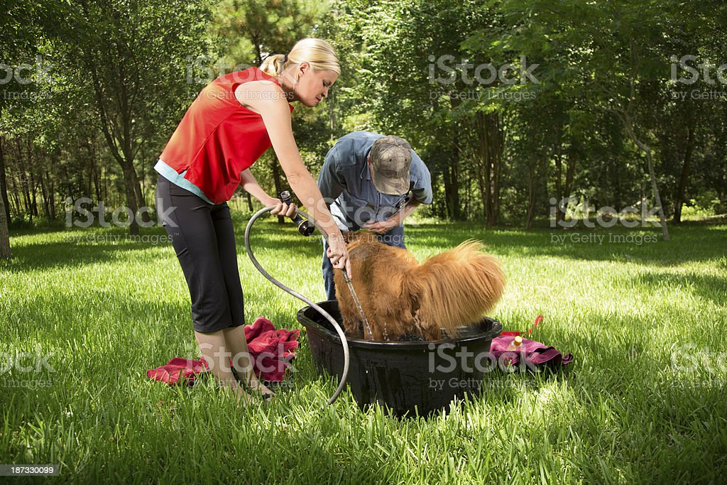 Family washes their pet golden retriever dog in the backyard.