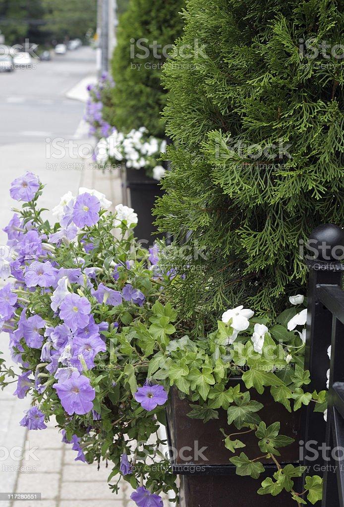 Petunia and Cedar stock photo
