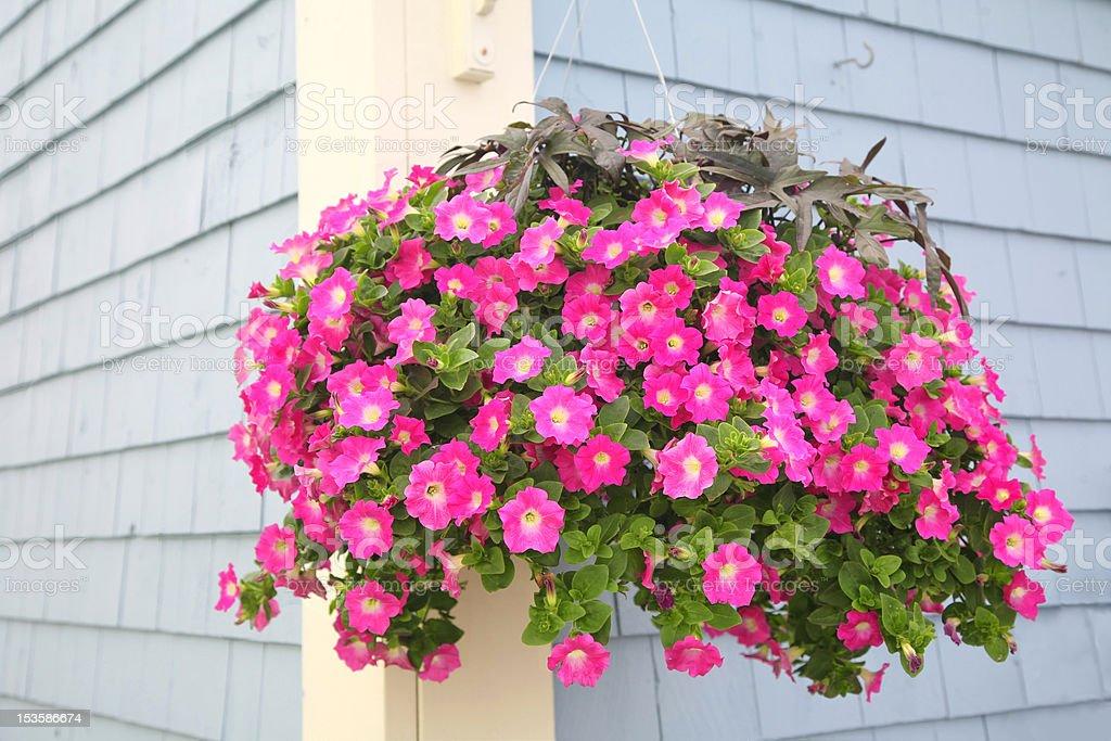 Petunia Basket stock photo