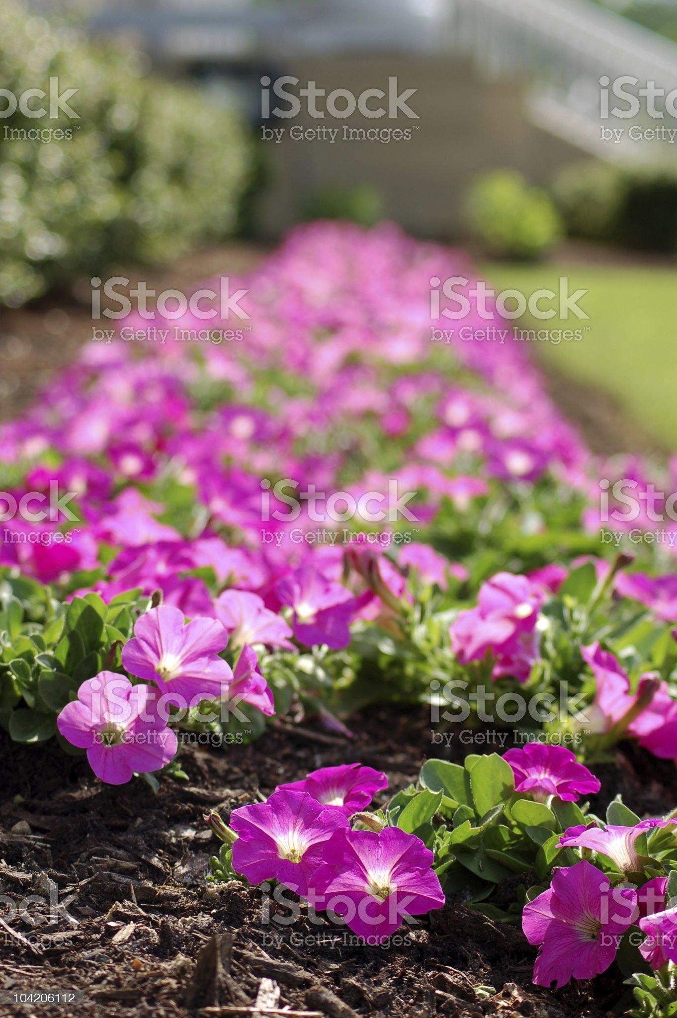 Petunia bed royalty-free stock photo