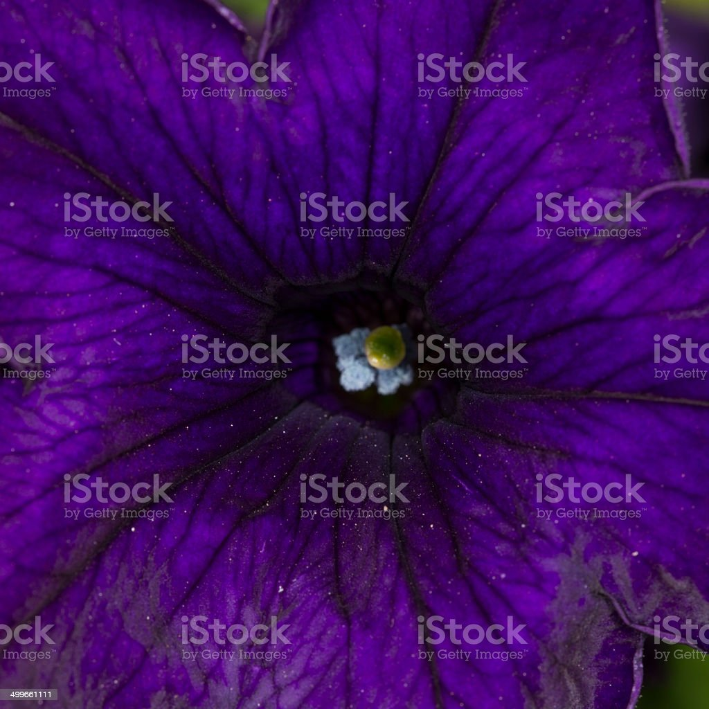 Petunia flower royalty-free stock photo