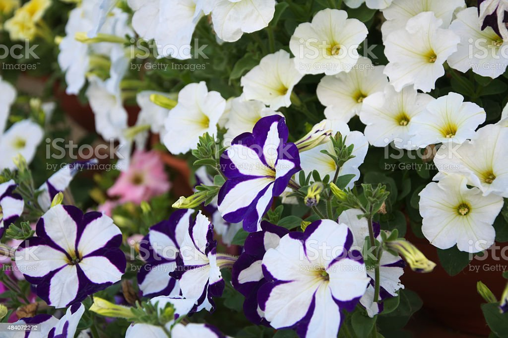 petunia flower plants stock photo