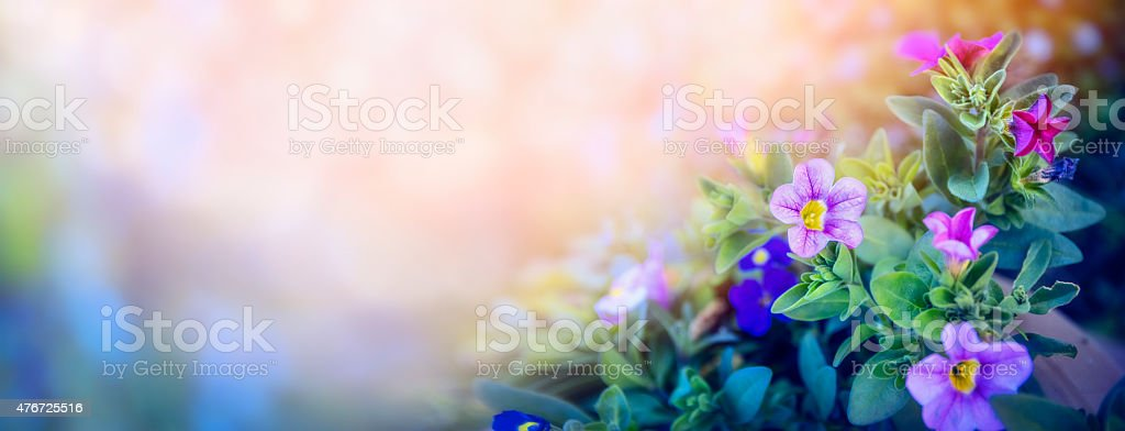 Petunia flowers bed on beautiful blurred nature background, banner stock photo