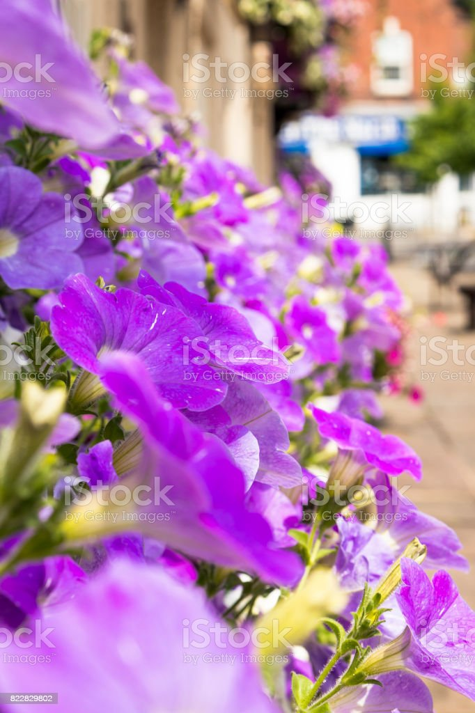 Petunia / flowers stock photo