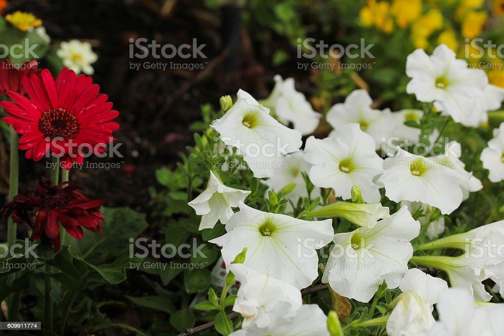 Petunia flowers, selective focus stock photo