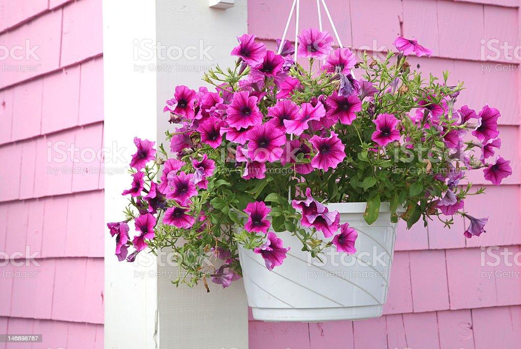 Petunia Hanging Basket stock photo
