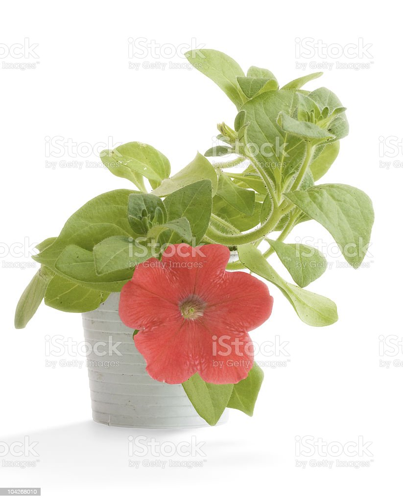 petunia in their pot stock photo