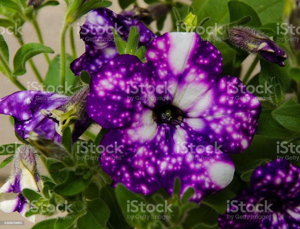 petunia night sky flower stock photo 530925860 istock. Black Bedroom Furniture Sets. Home Design Ideas
