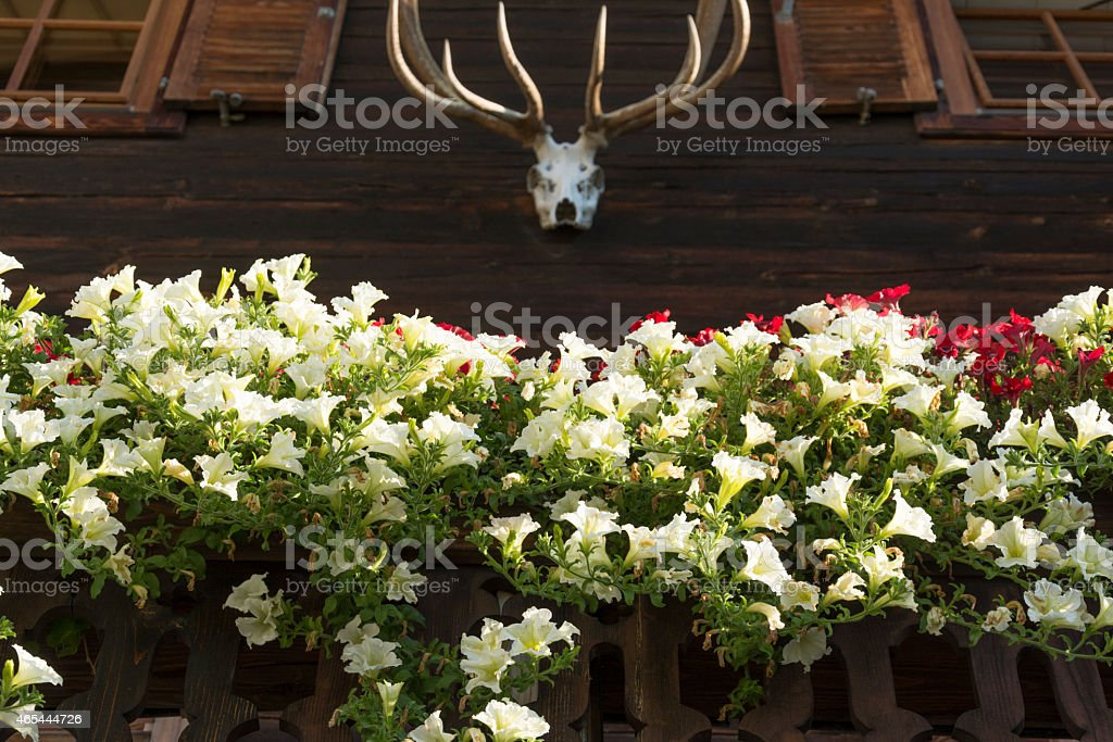 Petunia on a balcony, Tirol Austria stock photo