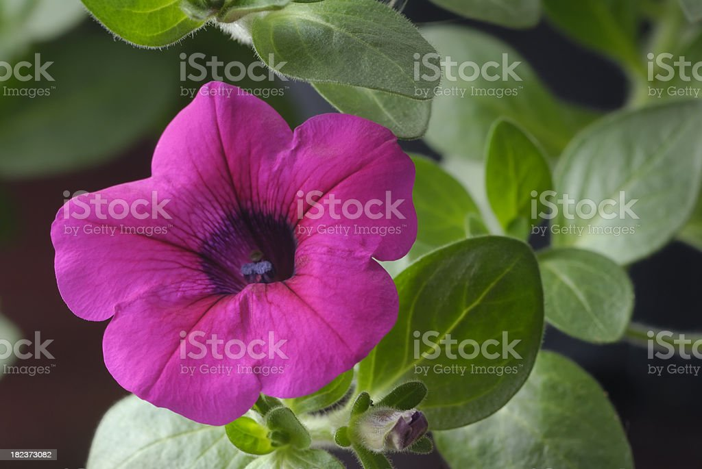 Petunia royalty-free stock photo