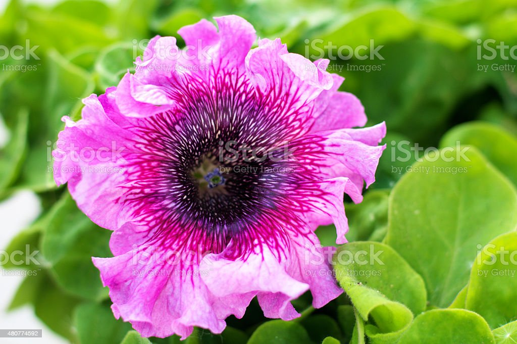 petunia pink blossoming stock photo