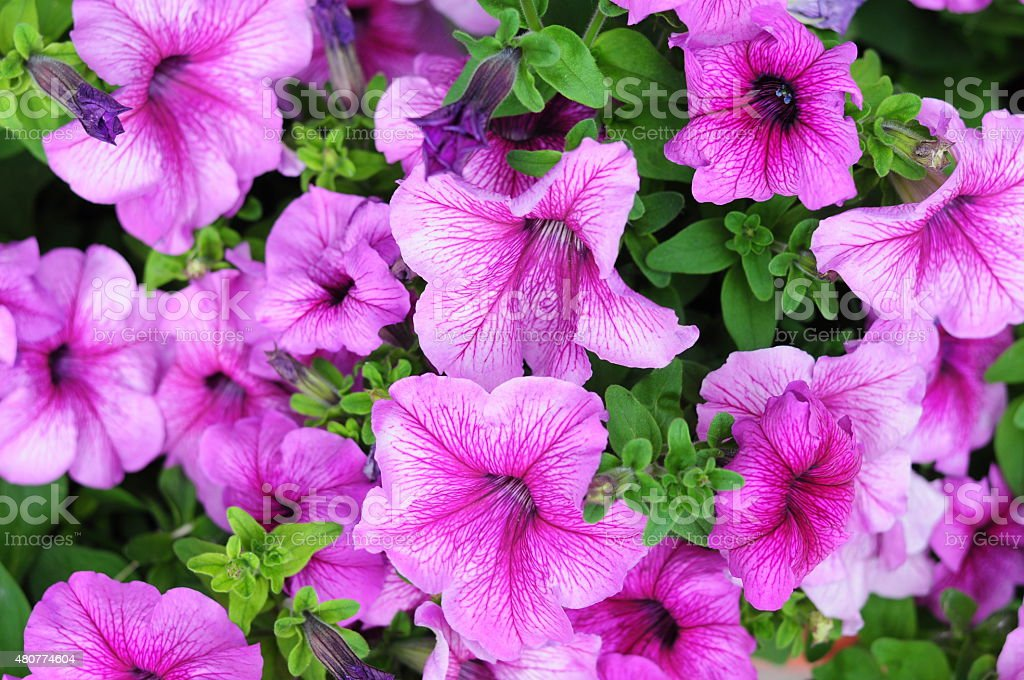 petunia pink flowers stock photo