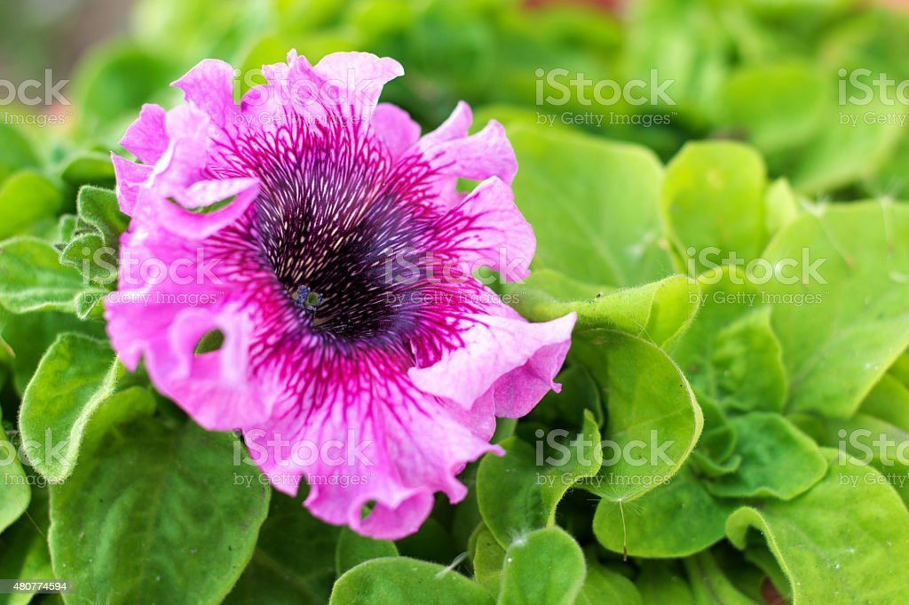 petunia pink stripy flower stock photo