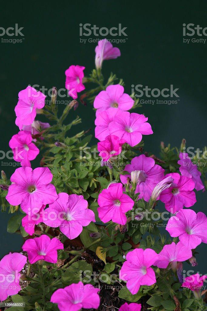 Petunia Plant royalty-free stock photo