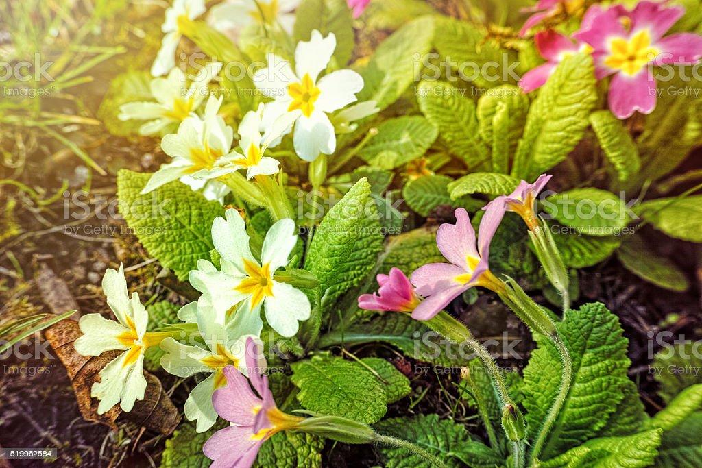Petunia spring flower royalty-free stock photo