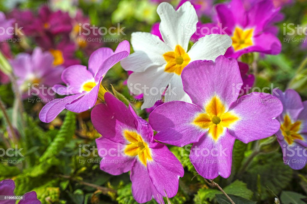 Petunia spring flower royalty-free stock photo