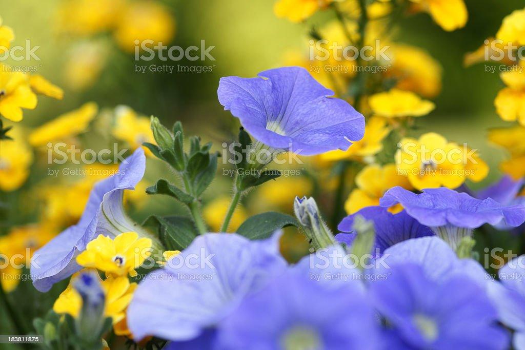 Petunias and Elfenspiegel stock photo