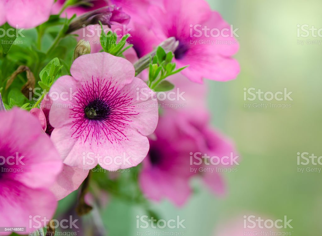 Petunias flowers stock photo