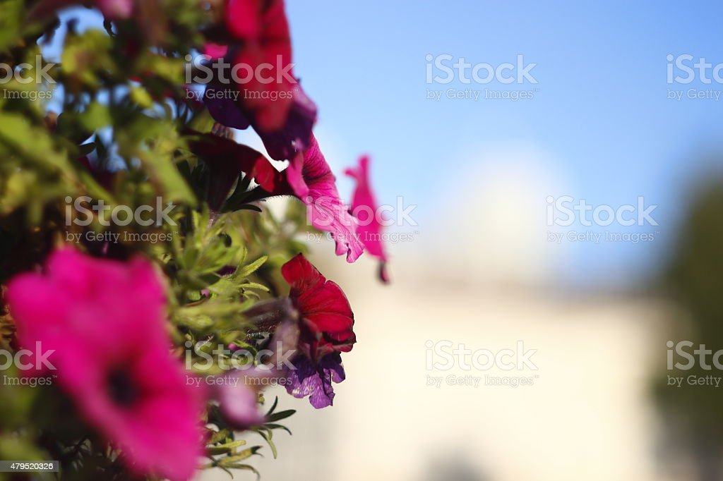Petunias in the center of Minsk royalty-free stock photo
