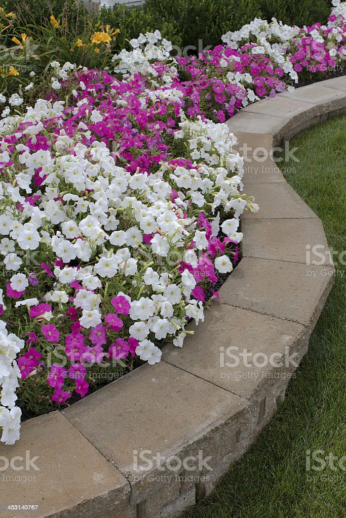 Petunias on the Flower Bed stock photo