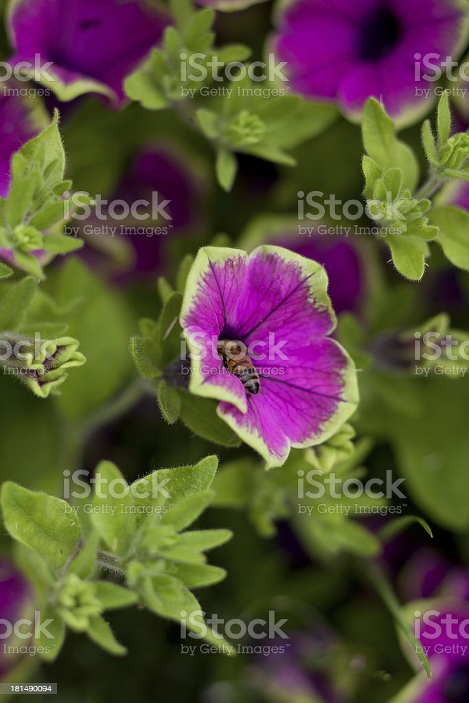 Petunien stock photo